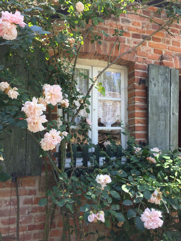 Fenster mit Rosenstaude des Arbeiterhauses Monswiller im Écomusée d'Alsace