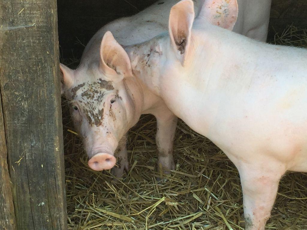 Zwei rosa Schweinchen im Stall neben dem Arbeiterhaus Monswiller im Écomusée d'Alsace
