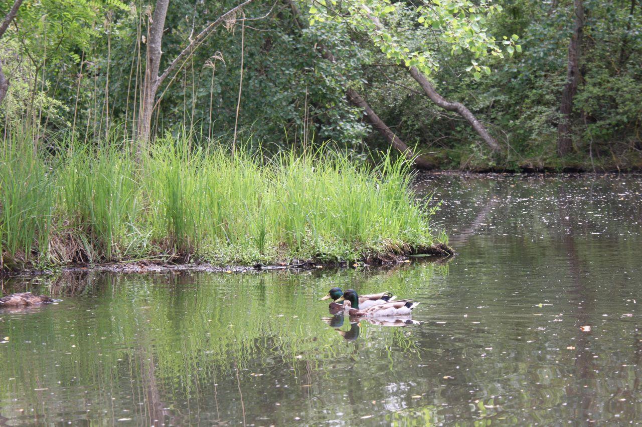 Zwei Enten nebeneinander auf dem Fluss im Écomusée d'Alsace