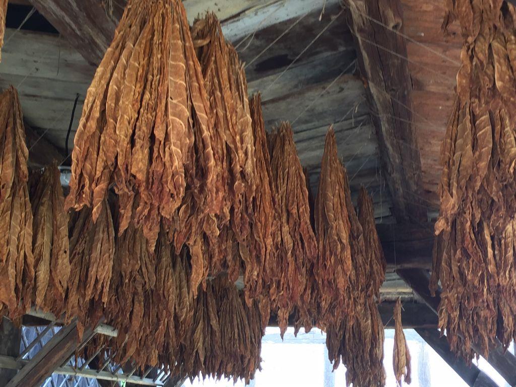 Tabak zum Trocknen unter dem Taubenschlag im Écomusée d'Alsace.