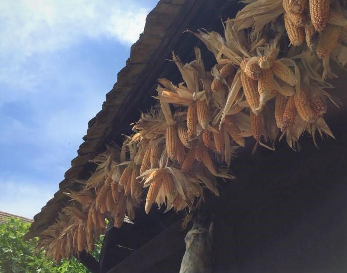 Mais haengt zum Trocknen an einer Scheune im Écomusée d'Alsace.