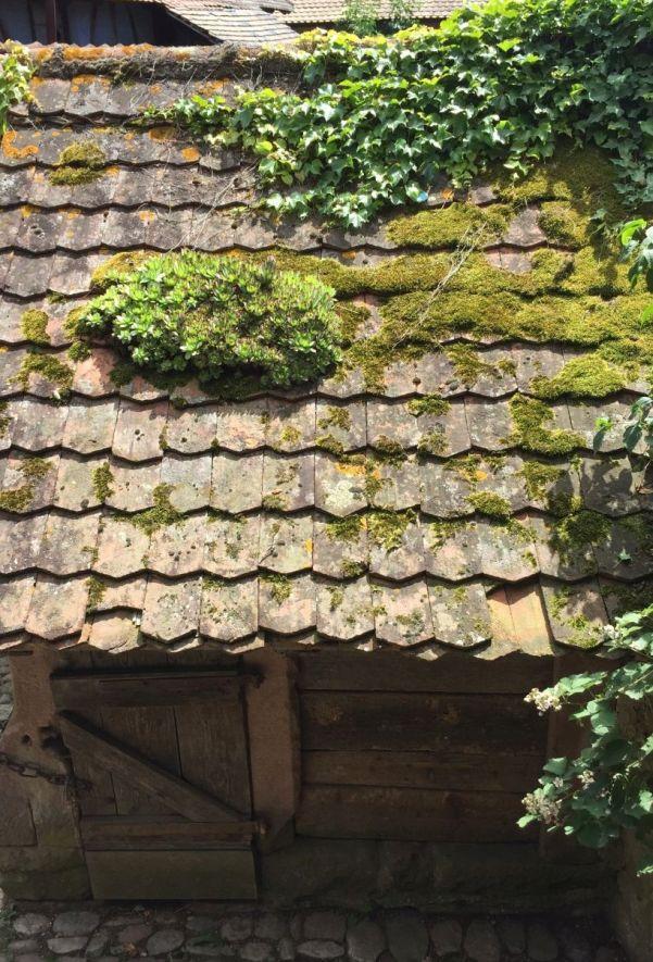 Hauswurz auf einem Hausdach im Écomusée d'Alsace
