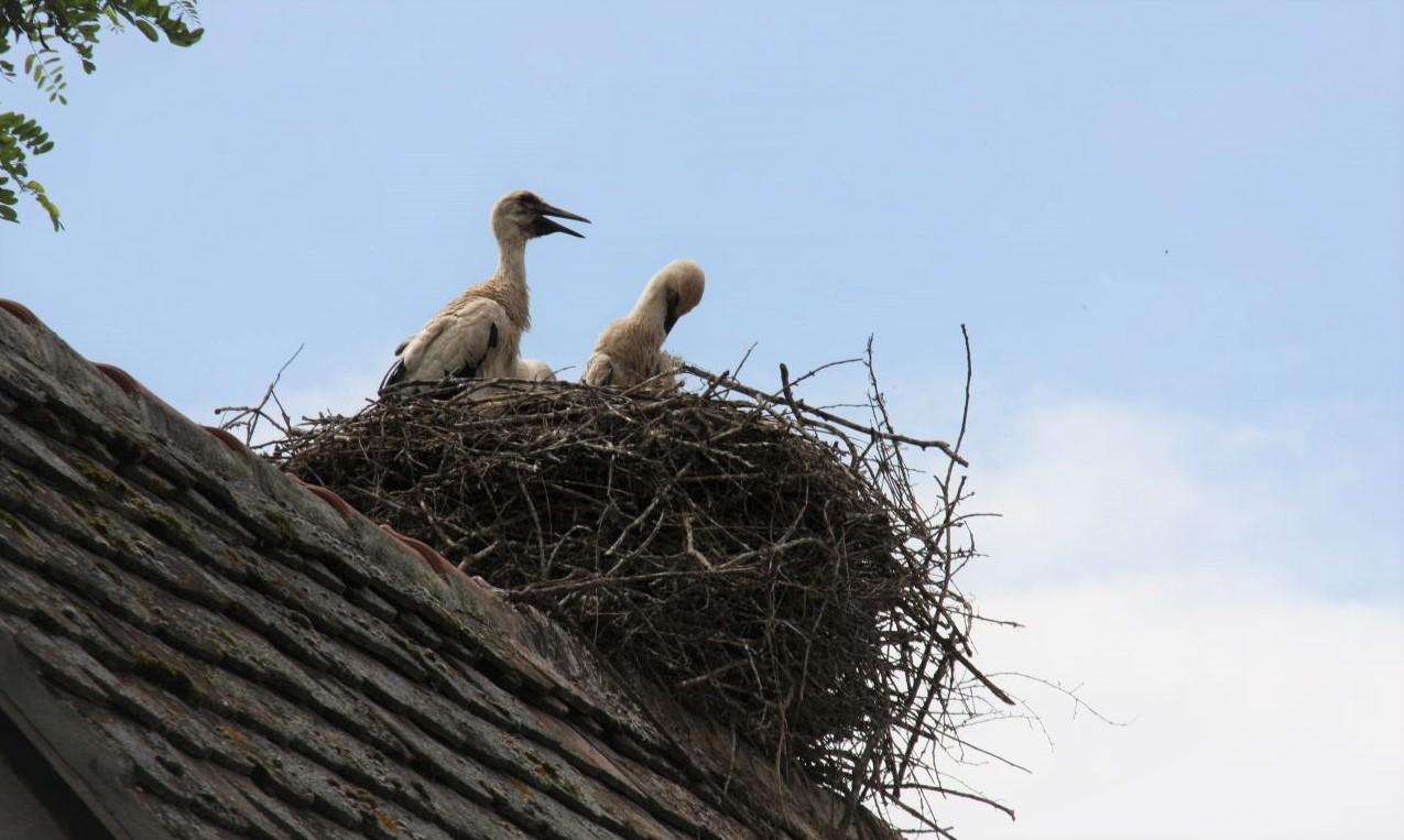 Jungstoerche im Nest im im Écomusée d'Alsace