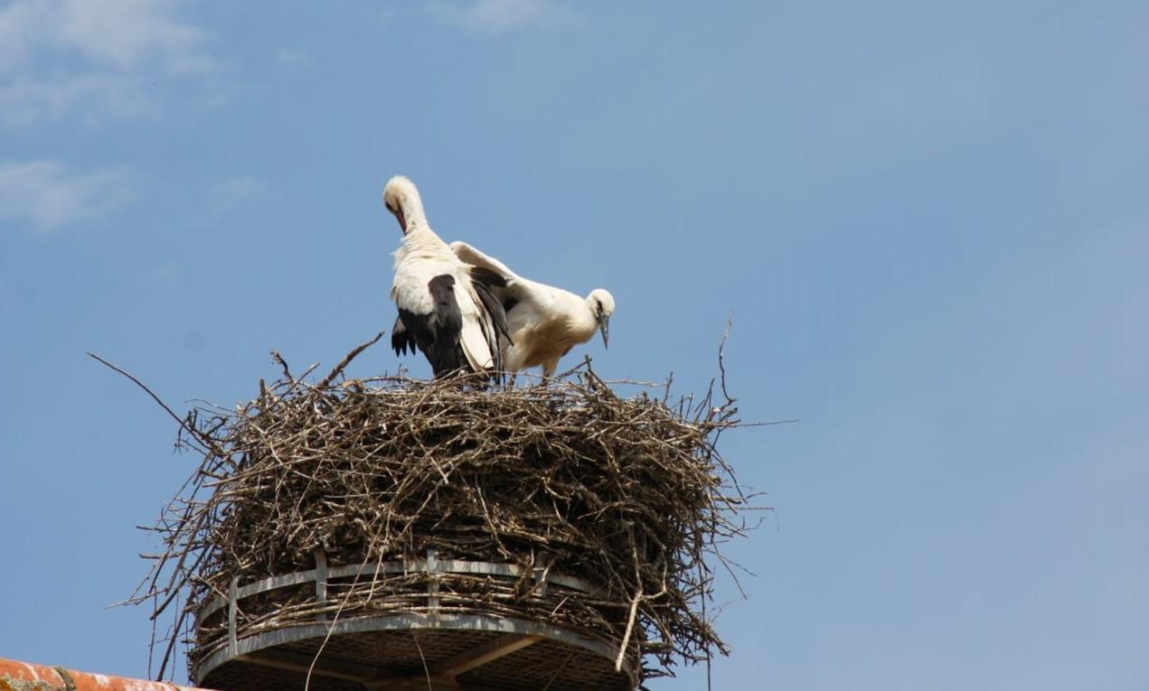 Zwei hungrige Jungstoerche im Nest im Écomusée d'Alsace, die auf die Ankunft der Eltern warten