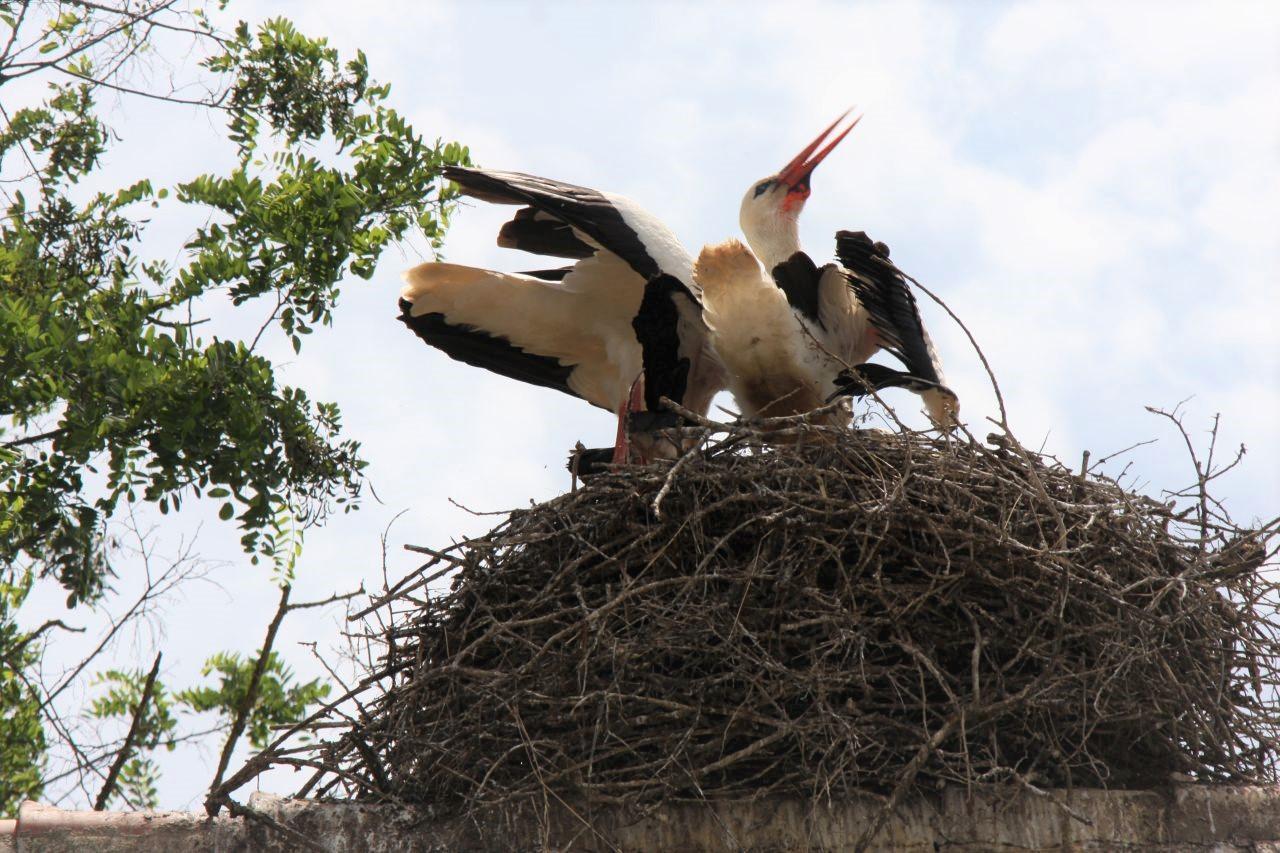 Hungrige Jungstoerche im Nest im Écomusée d'Alsace