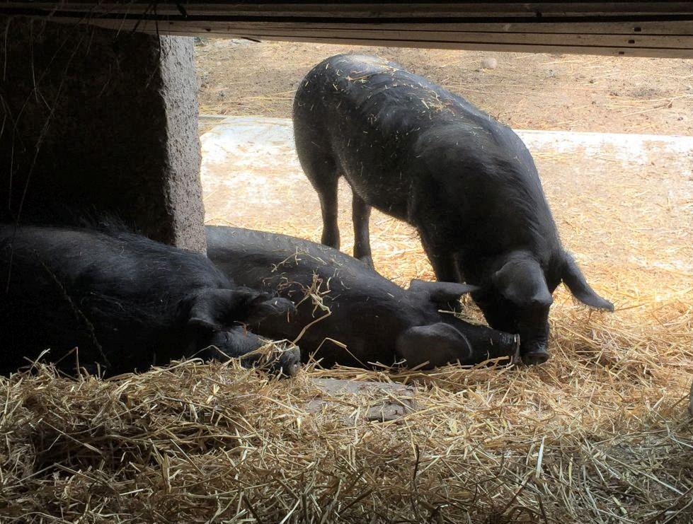 Drei schwarze Schweine im Écomusée d'Alsace. Zwei davon schlafen, eines schnueffelt im Heu.