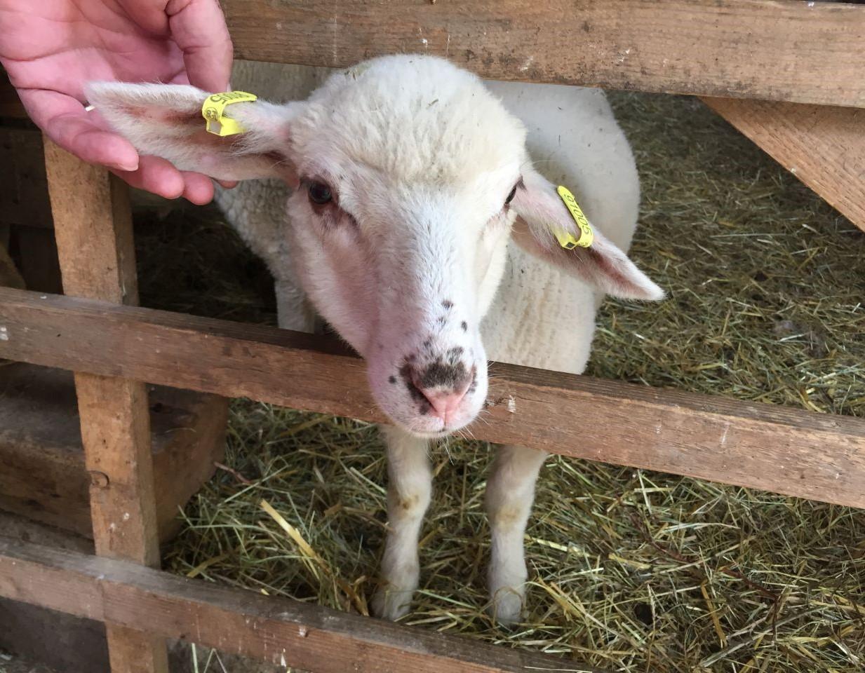 Eines der Laemmchen im Écomusée d'Alsace laesst sich bereitwillig die Ohren kraulen.