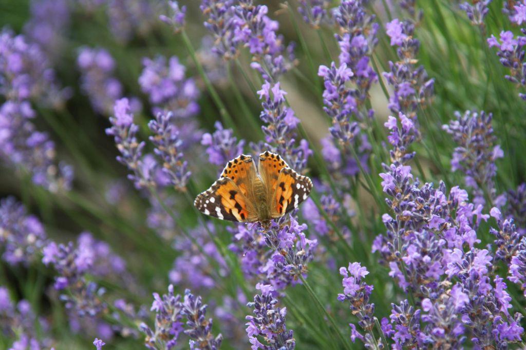 Schmetterling im Écomusée d'Alsace.
