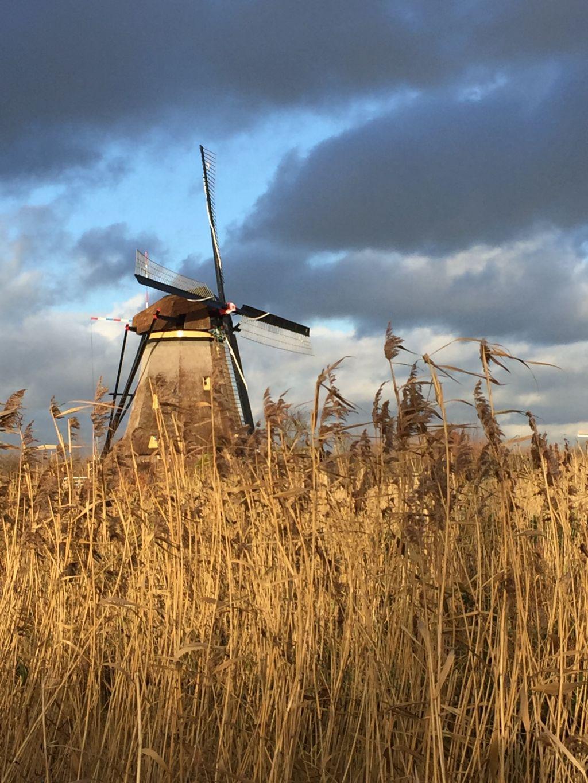 Muehle mit Getreidefeld im Vordergrund am Kinderdijk in den Niederlanden