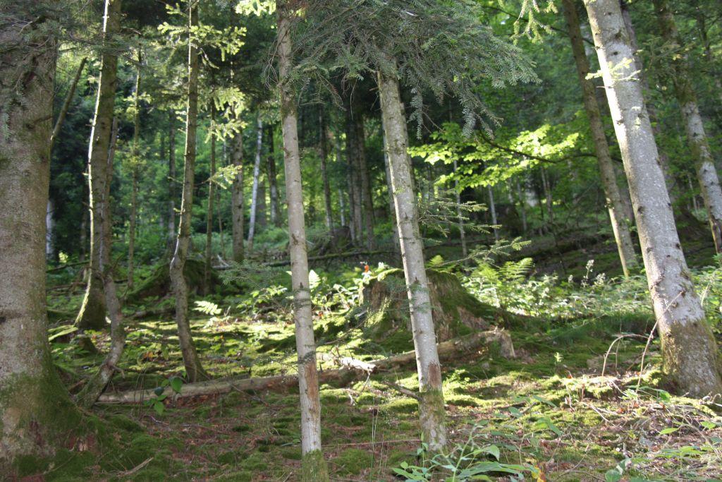 Sonnenlicht fällt in den Schwarzwald
